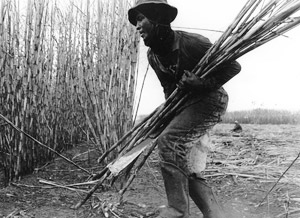 Photograph of sugar cane farming by hand