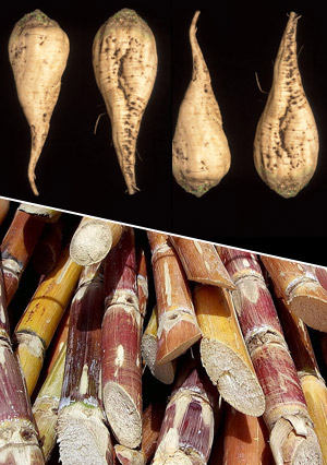 Photograph of sugar beet and sugar cane